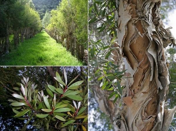 Чайное дерево или Мелалеука
